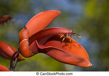 Ceibo flowers, Erythrina crista-galli - Ceibo flowers over a...