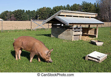 Free Range Tamworth Pig Farm - An organically raised free...