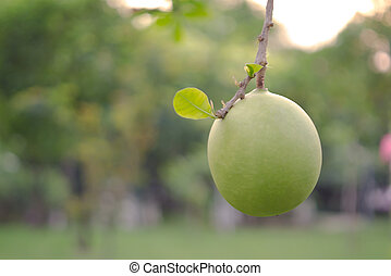 Bignoniaceae fruit over natural blurred background -...