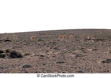 Vicunas In National Park Chimborazo - Vicunas In National...