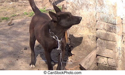 Dog on a chain rough barking