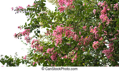 Pink crepe myrtle tree in bloom against sky. - Crepe myrtle...