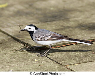 White Wagtail with catch, Motacilla alba