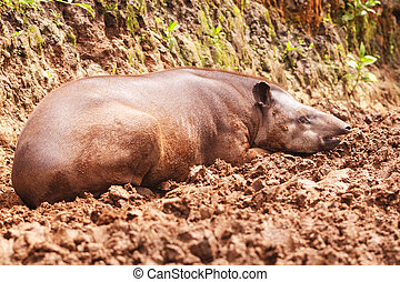Reddish Brown Female Tapir - Close Up Of An Reddish Brown...