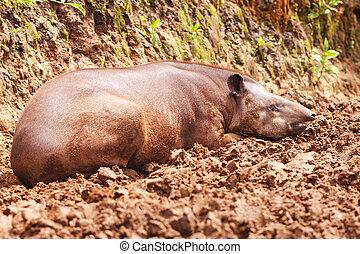 rojizo, marrón, hembra, tapir,