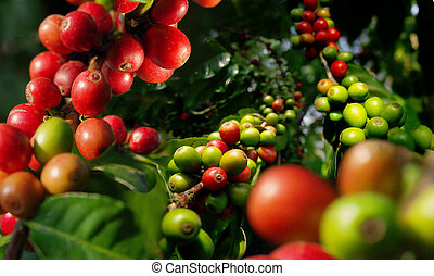 Coffee plant. Harvest. - Harvest berries of coffee...