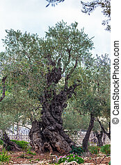 Gethsemane Garden at Mount of Olives, Jerusalem, Israel -...