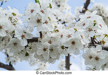 apricot blossom tree - Flowering apricot tree branches close...