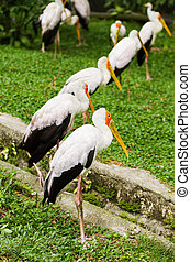 The milky stork Mycteria cinerea Big bird with yellow beak...