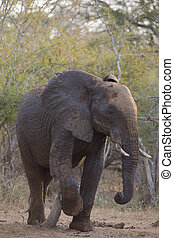 Big elephant approaching along a road tusks trunk