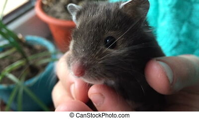 Domestic gray hamster in palms of the person. Video full hd.