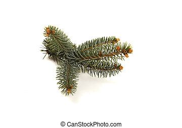 Fir tree branch with cones.