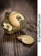Variety Ammonites - fossil on a dark wooden background