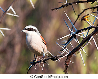 Redbacked shrike with food stuck into thorns