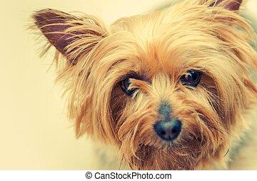 Australian Silky Terrier Dog Closeup Portrait Middle Age...