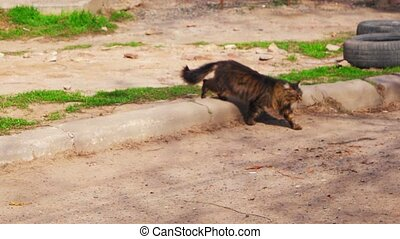 Feral Cat is crossing street. Tomcat walking down the...