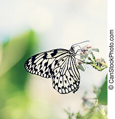 Paper Kite, Rice Paper, or Large Tree Nymph butterfly (Idea...
