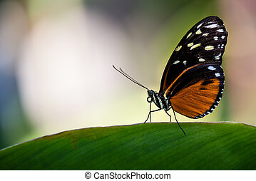 Tiger Longwing butterfly Heliconius hecale, aka Golden...