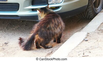 Feral cat sniffing a car and go away rear view