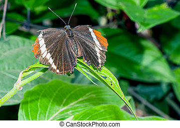 Adelpha Cytherea Linnaeus Is A Genus Of Brush Footed...