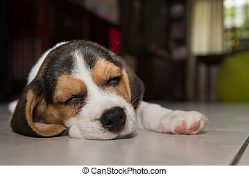 beagle puppy, beagle puppy sleeping