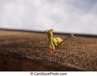 Friendly Praying Mantis - Closeup of a green praying mantis...