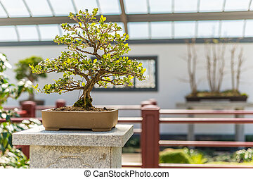 Chinese Boxwood Bonsai - 40 yo Chinese Boxwood Bonsai (Buxus...
