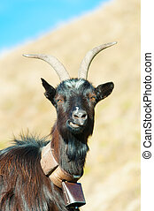 Goat ruminant with cowbell