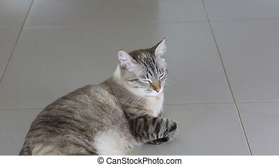Thai imposingly beautiful cat lying on floor - Thai...