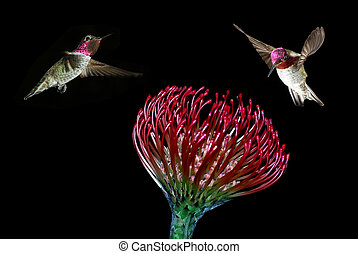 Ruby-throated hummingbirds feeding from beautiful tropical...