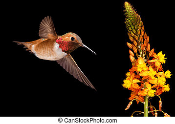 Rufous Hummingbird over black background - Rufous...