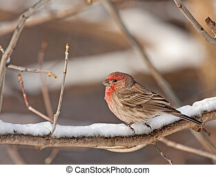 Male House Finch, Carpodacus mexicanus - Male house finch,...