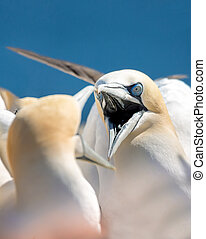 northern gannet sitting on the nest - Northern gannet Sula...