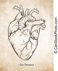 Human heart vector - Hand drawn line art anatomically...