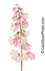 Fuzzy Deutzia Flowers Isolated on White Background - A...