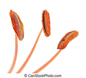 Lily Stamens with Pollen Macro on White Background