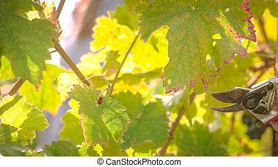 Wine Grape Harvest - Wine tree leafs after harvesting...