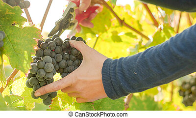 Wine Grape Harvest - Wine grape hanging from the tree, woman...