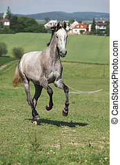 Amazing young horse running on pasturage - Amazing young...