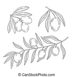 Branch of olive tree on a white background.