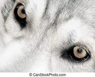 Northern Inuit wolf eyes - close up of theInuit eyes , which...