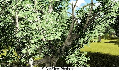 California buckeye Aesculus californica trees animation