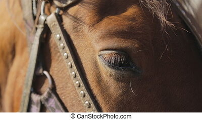 The settled eye of brown horse which is staying outside with...