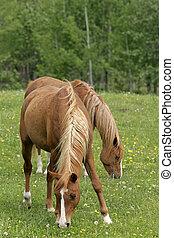 Chestnut Horses grassing