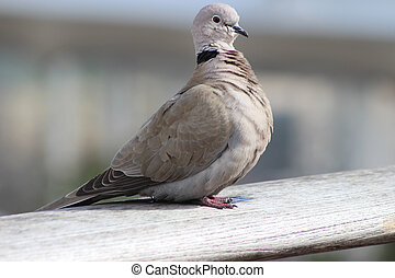 Cape Turtle Dove (Streptopelia capicola) - Beautiful Cape...