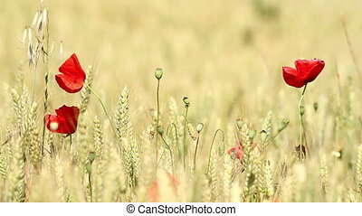 Mature cereal field with poppy flow