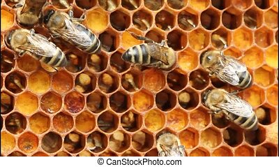 Bees create ambrosia. - Ambrosia - is bathed in honey...
