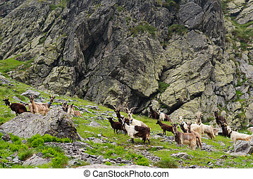Wild goats in the mountains - Wild goats grazing in the...
