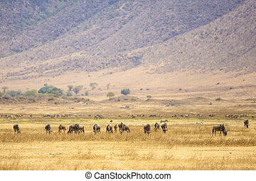 Herds of wildebeests in the Ngorongoro - The great african...