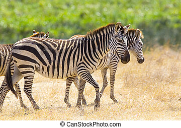 Beautiful zebras walking at the vast plains in Africa -...